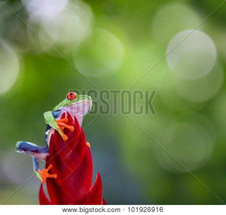 red eyed tree frog from the tropical jungle of Costa RIca and Panama macro of an exotic rain forest animal, treefrog looking up
