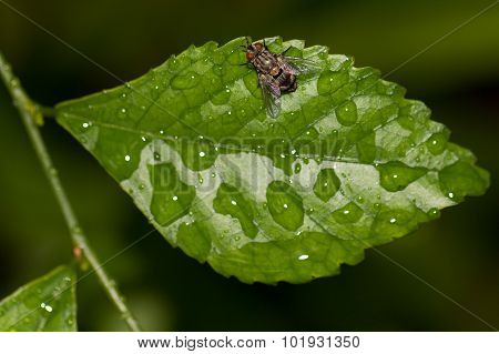Grey Fly On A Leaf, Top View