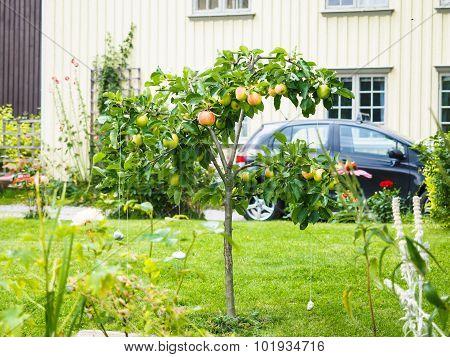 Small Apple Tree In Front Of Beige House In Garden