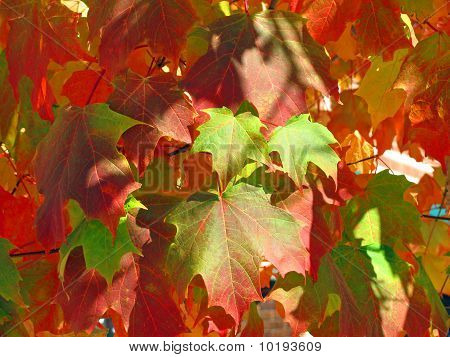Sunlit Maple Leaves