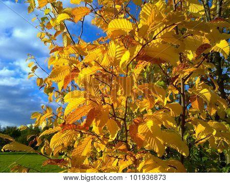 Hornbeam Leaves In Autumn