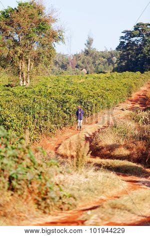 Coffee Plantation, Kenya