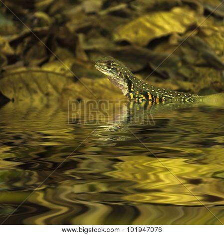 Chameleon Iguana In Water
