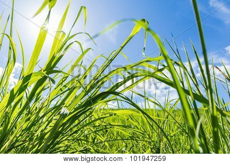 Wheatgrass Field