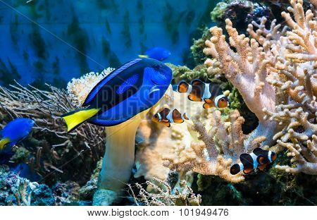 beautiful tropical blue fish and clownfish in aquarium