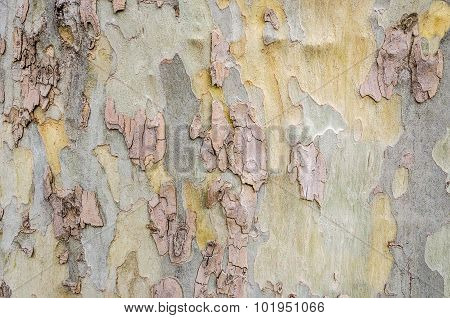 Section Of Bark On A Huge Tree
