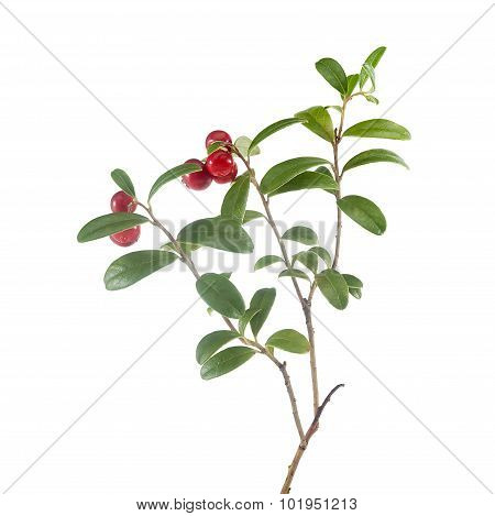 Branch Of Cowberry