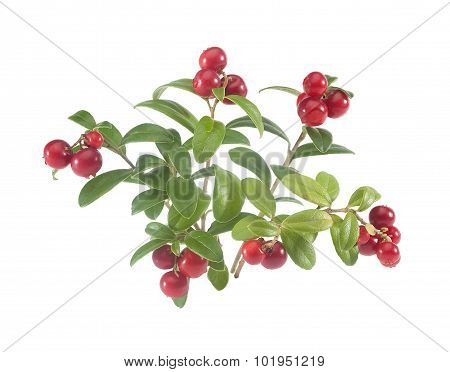 Branches Of Cowberry