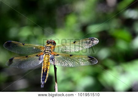 dragonfly sits