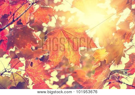 Yellow And Red Maple Leaves In Forest At Sunny Day