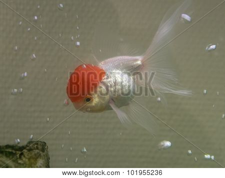 Goldfish In Water Closeup