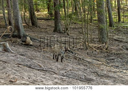 Wild Boars In Forest