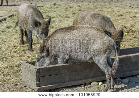 Three Hog Eat