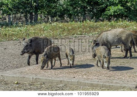 Wild Boar Is Looking For A  Pet