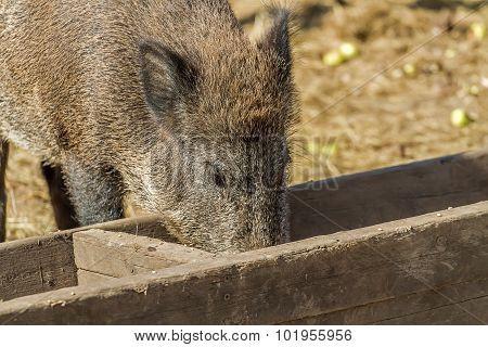 One Big Wild Boar