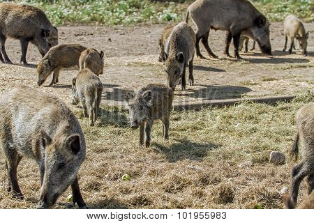 Wild Boar With A Small Hogs