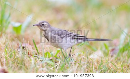 Yellow Wagtail, Female