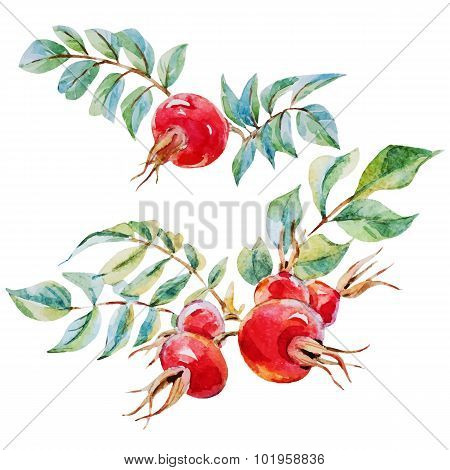 Watercolor vector dogrose flowers