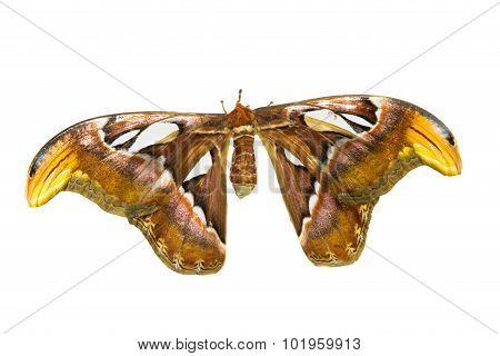 Biggest Moth