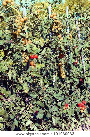 Tomato Plant With Ripe Fruits In Hte Vegetable Garden
