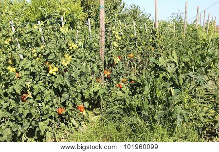 Tomato Plant With Ripe Fruits In Hte Vegetable Garden In Summer
