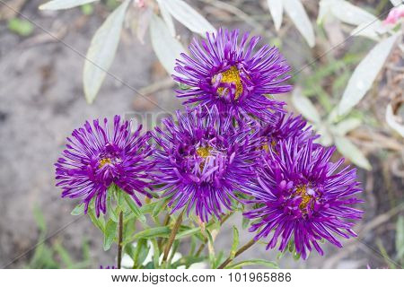 Autumn asters on the meadow close-up, selective focus