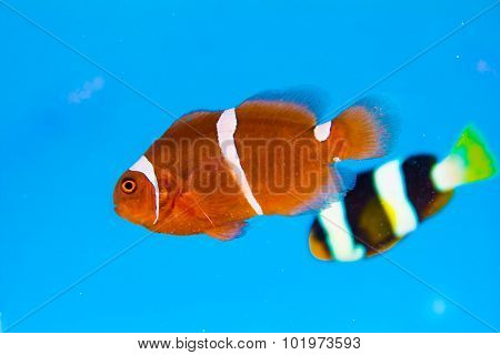 Clown Fish Or Anemone Fish