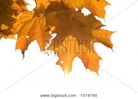 Maple'S Autumn Leaves