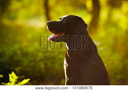 Black Labrador Sitting In A Sunny Forest