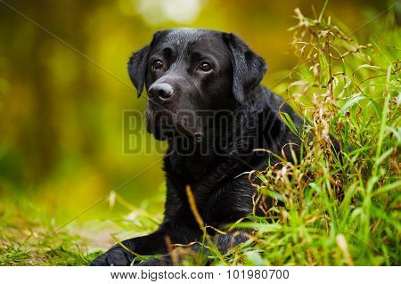 Black Wet Labrador