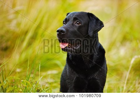 Black Labrador On A Background Of Grass
