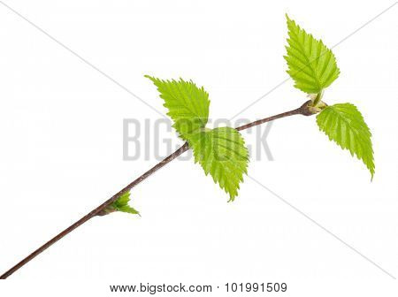 Young birch branch. Macro