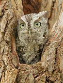 picture of screech-owl  - A capture of a little screech owl peeking out of a tree - JPG