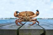 Постер, плакат: Alive Norwegian Brown crab