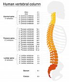 Постер, плакат: Vertebral Column Names Spine