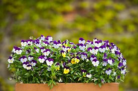 image of viola  - A wooden painted box filed with pansies  - JPG
