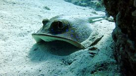 stock photo of stingray  - Bluespotted stingray  - JPG