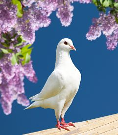 picture of pigeon  - Beautiful view of one white pigeon on perch with flowering lilac tree background imperial pigeon ducula - JPG