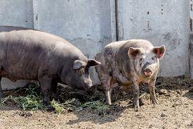 image of boar  - Wild boar hunting in the aviary - JPG