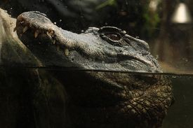 pic of crocodilian  - Smooth - JPG