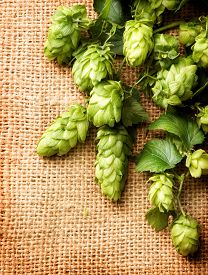 picture of brew  - Fresh Branch of Hop with leaves and cones close up border on Burlap background - JPG