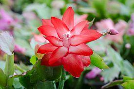 stock photo of schlumbergera  - Close up Christmas Cactus  - JPG