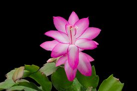 pic of schlumbergera  - Pink Christmas Cactus  - JPG