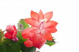 foto of schlumbergera  - Christmas Cactus  - JPG