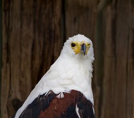 image of fish-eagle  - The portrait of the strange African Fish Eagle - JPG