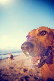 pic of samoa  - Beach Dog on Samoa Beach Playful Pet Concept - JPG