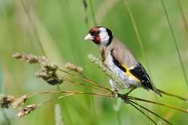 pic of goldfinches  - European goldfinch  - JPG