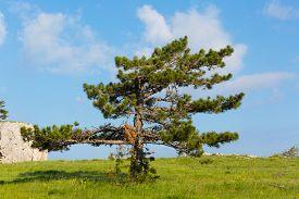 stock photo of pinus  - Pinus stankewiczii grows on a plateau on the mountain Ai Petri - JPG