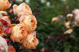 foto of english rose  - Beautiful English Roses in garden setting surrounded by green leaves - JPG