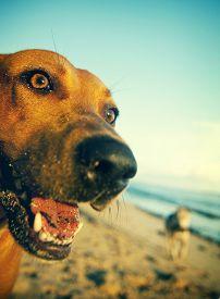 picture of samoa  - Beach Dog on Samoa Beach Playful Pet Concept - JPG